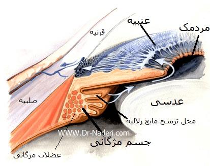 جسم مژگانی چشمcilliary body